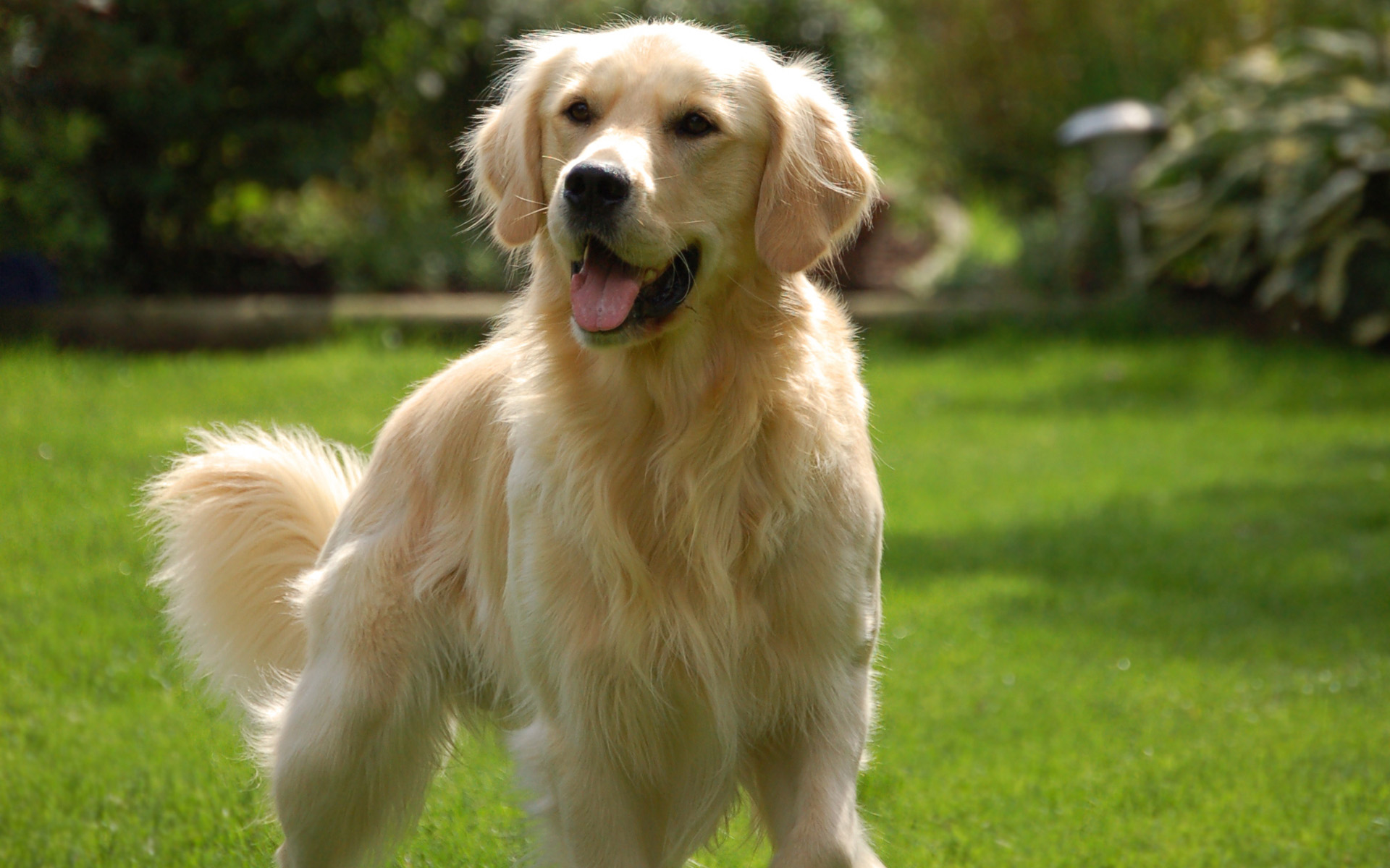89 Golden Retriever HD Wallpapers  Backgrounds