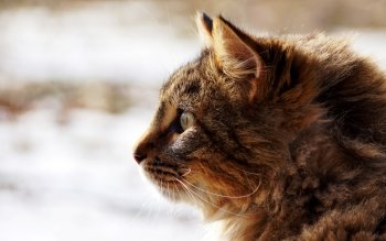 Animal - Cat Wallpapers and Backgrounds ID : 413375