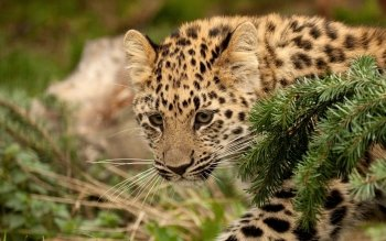 Animal - Leopard Wallpapers and Backgrounds ID : 413688