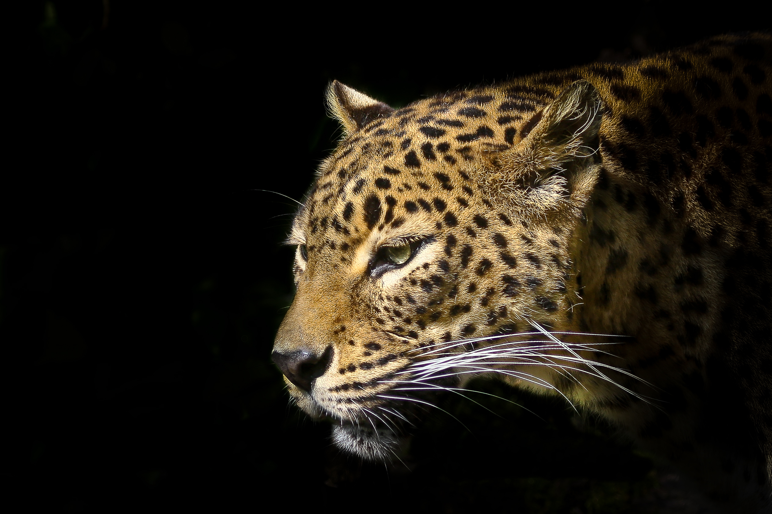 Leopard full hd wallpaper and background image 2527x1684 id414941 animal leopard wallpaper voltagebd Image collections