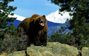Animal - Bear Wallpapers and Backgrounds ID : 414062