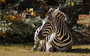 Animalia - Zebra Wallpapers and Backgrounds ID : 414144