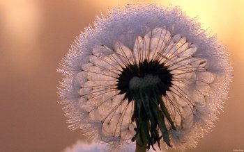 Earth - Dandelion Wallpapers and Backgrounds ID : 414400