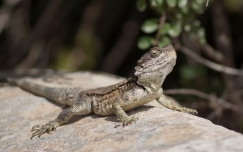Animalia - Lizard Wallpapers and Backgrounds ID : 414407