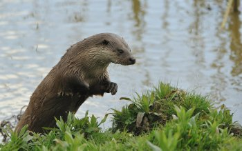 Animalia - Otter Wallpapers and Backgrounds ID : 414797