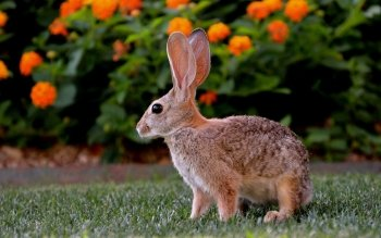 Animal - Rabbit Wallpapers and Backgrounds ID : 415163