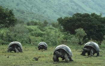 Animal - Galápagos Tortoise Wallpapers and Backgrounds ID : 415738