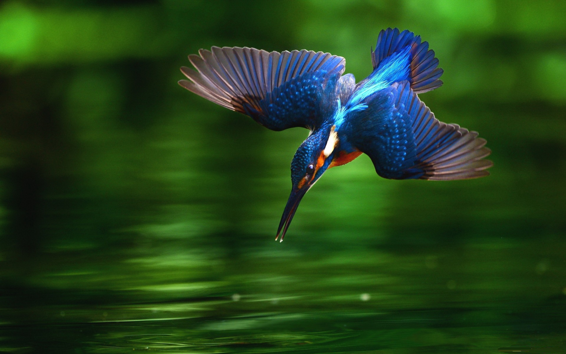 Kingfisher Wallpapers: Backgrounds - Wallpaper Abyss