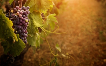 Alimento - Grapes Wallpapers and Backgrounds ID : 416309