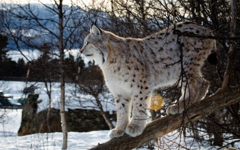 Animal - Lynx Wallpapers and Backgrounds ID : 416387