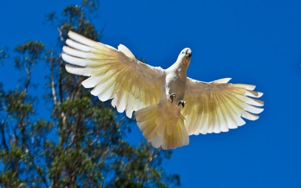 Animal Sulphur-crested cockatoo Birds Cockatoos HD Wallpaper   Background Image