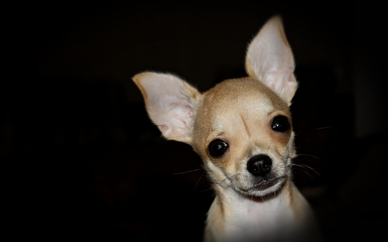 dog chihuahua background - photo #32