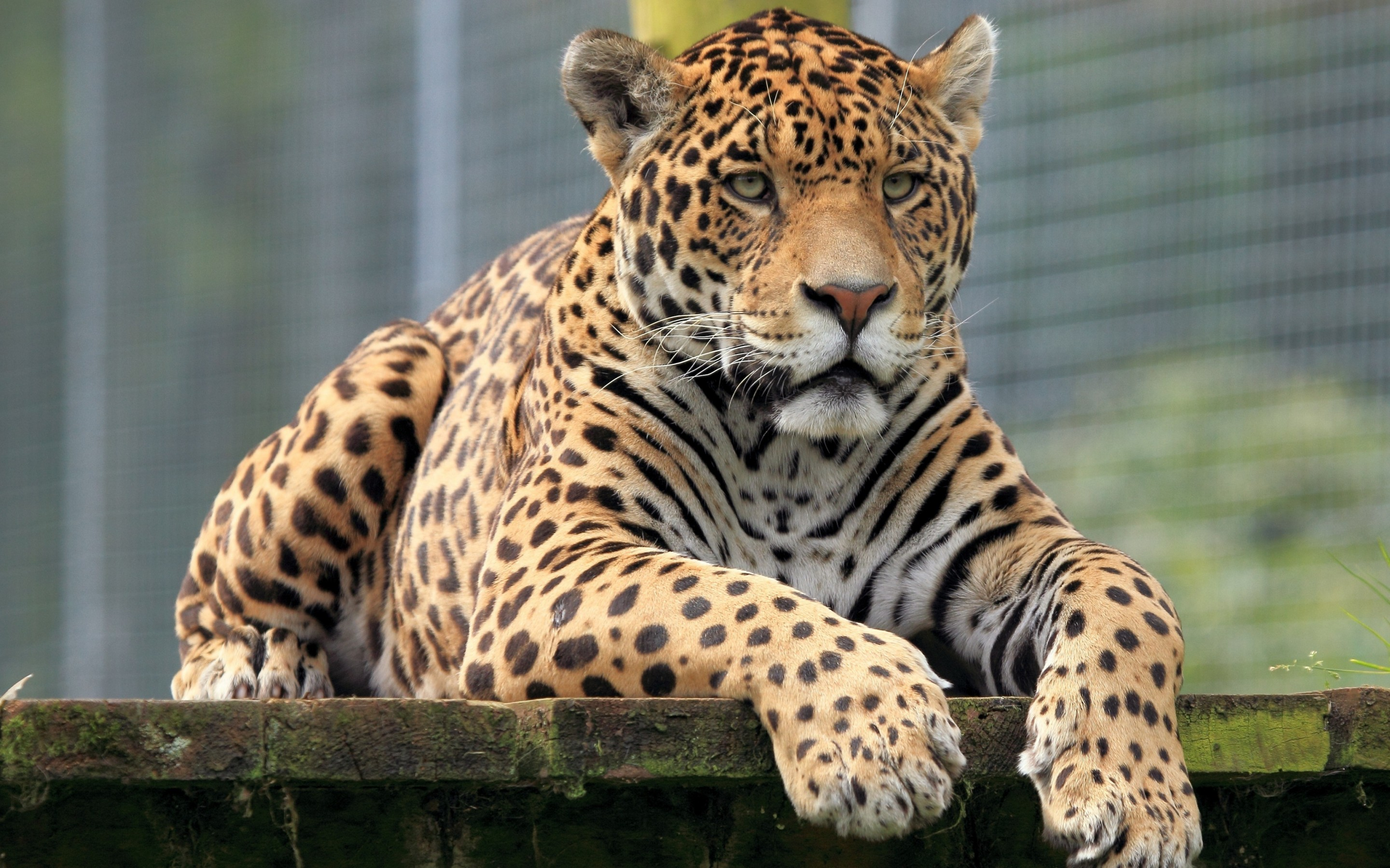 Jaguar full hd wallpaper and background image 2880x1800 - Jaguar animal hd wallpapers ...