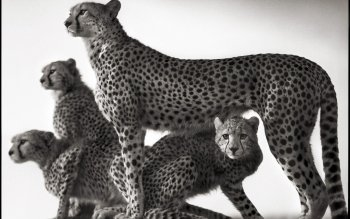 Djur - Cheetah Wallpapers and Backgrounds ID : 420581