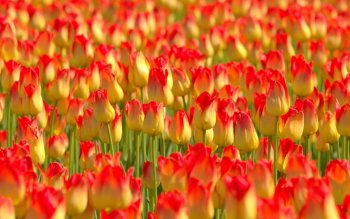 Earth - Tulip Wallpapers and Backgrounds ID : 420911