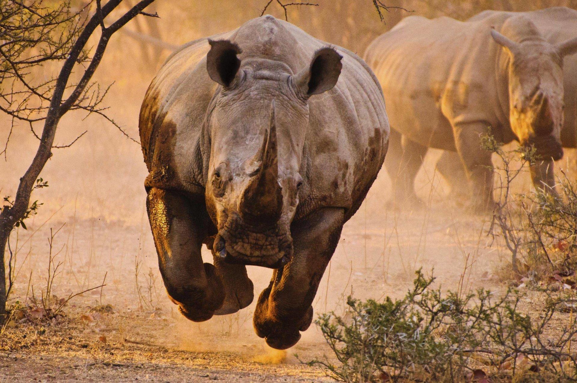 Обои носороги. Животные foto 14