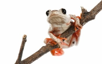 Animal - Tree Frog Wallpapers and Backgrounds ID : 421098