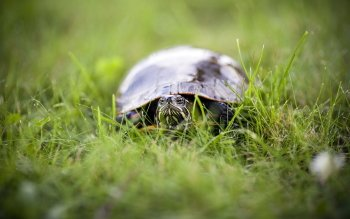 Animal - Turtle Wallpapers and Backgrounds ID : 421377