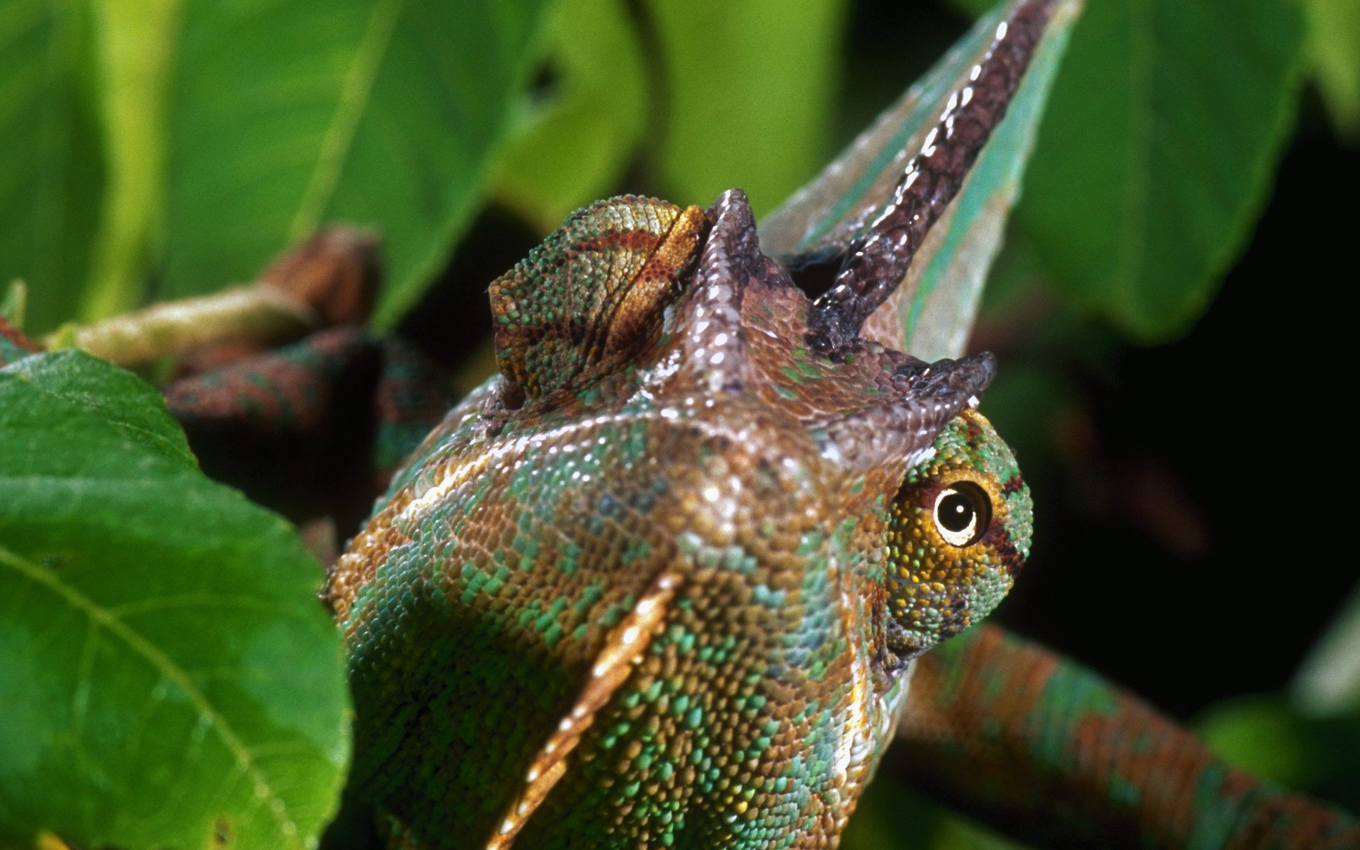chameleon wallpaper 1920x1200 - photo #4