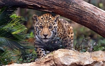Animalia - Leopard Wallpapers and Backgrounds ID : 422090