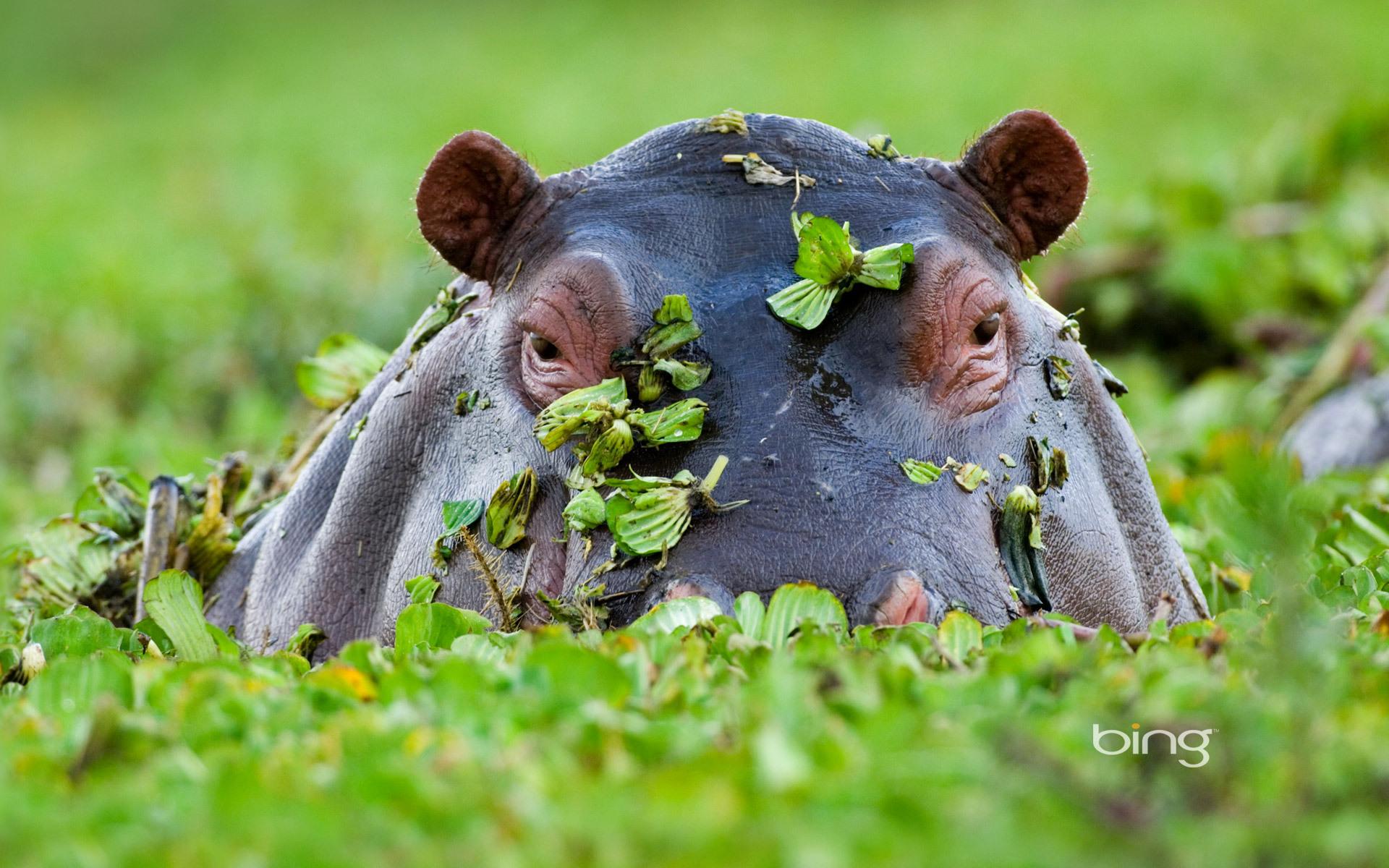 Hippopotamus HD Desktop Wallpapers