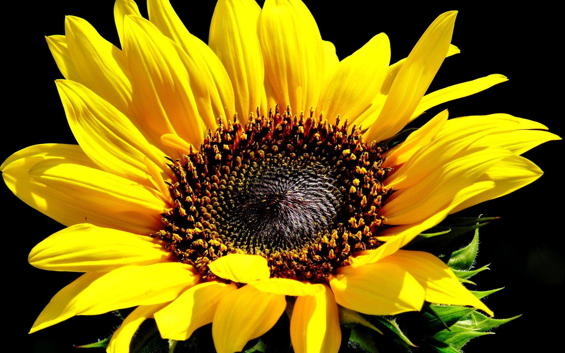 Sunflower HD Wallpaper | Background Image | 2560x1600 | ID ...