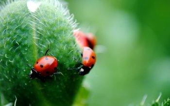 Animal - Ladybug Wallpapers and Backgrounds ID : 423006