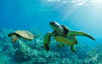 Animal - Turtle Wallpapers and Backgrounds ID : 423336