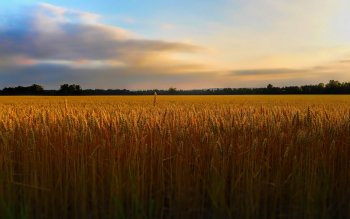 Earth - Wheat Wallpapers and Backgrounds ID : 423501