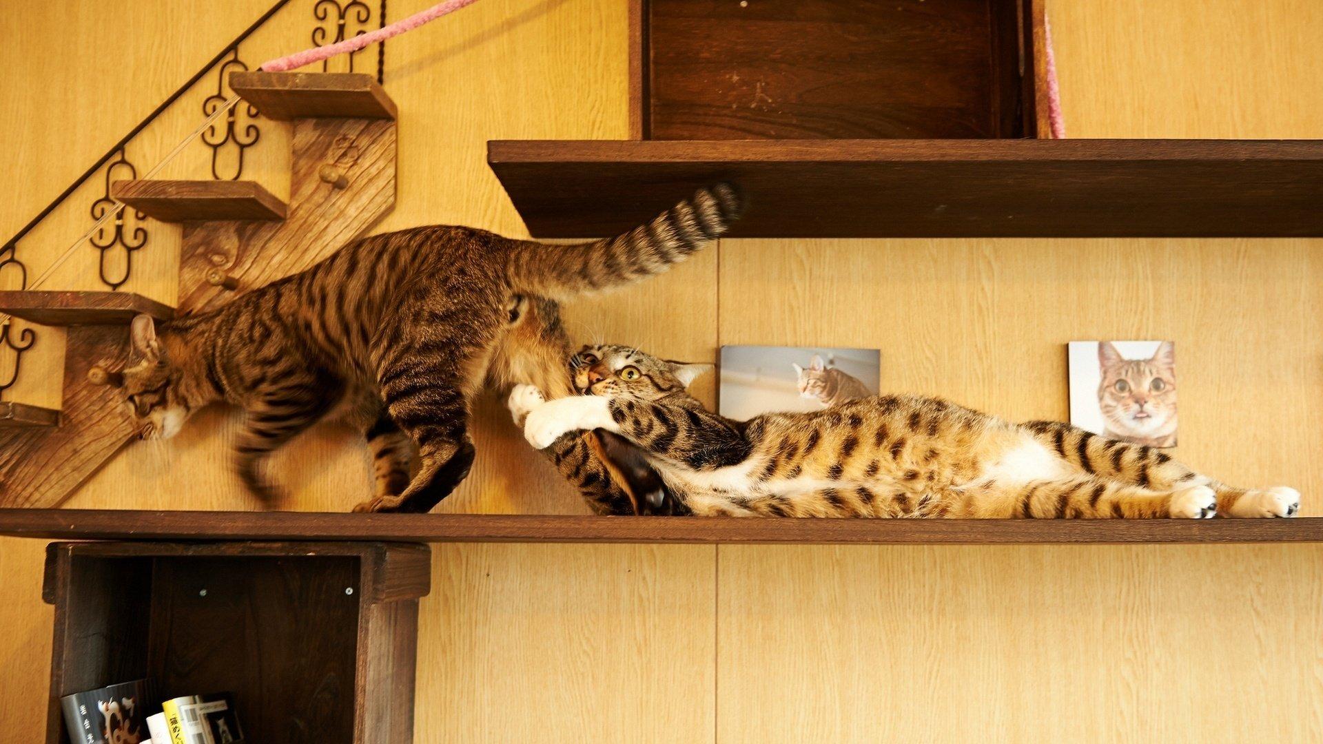 Сhrееру cat