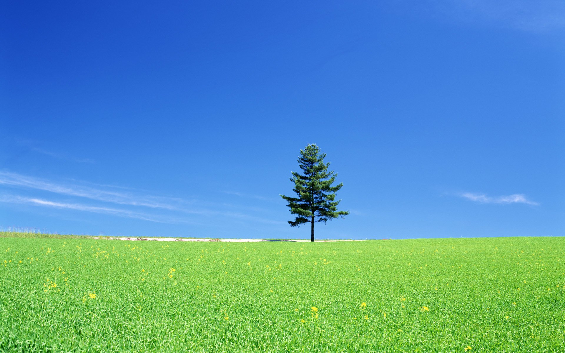 Pine tree full hd wallpaper and background image - Pine tree wallpaper iphone ...