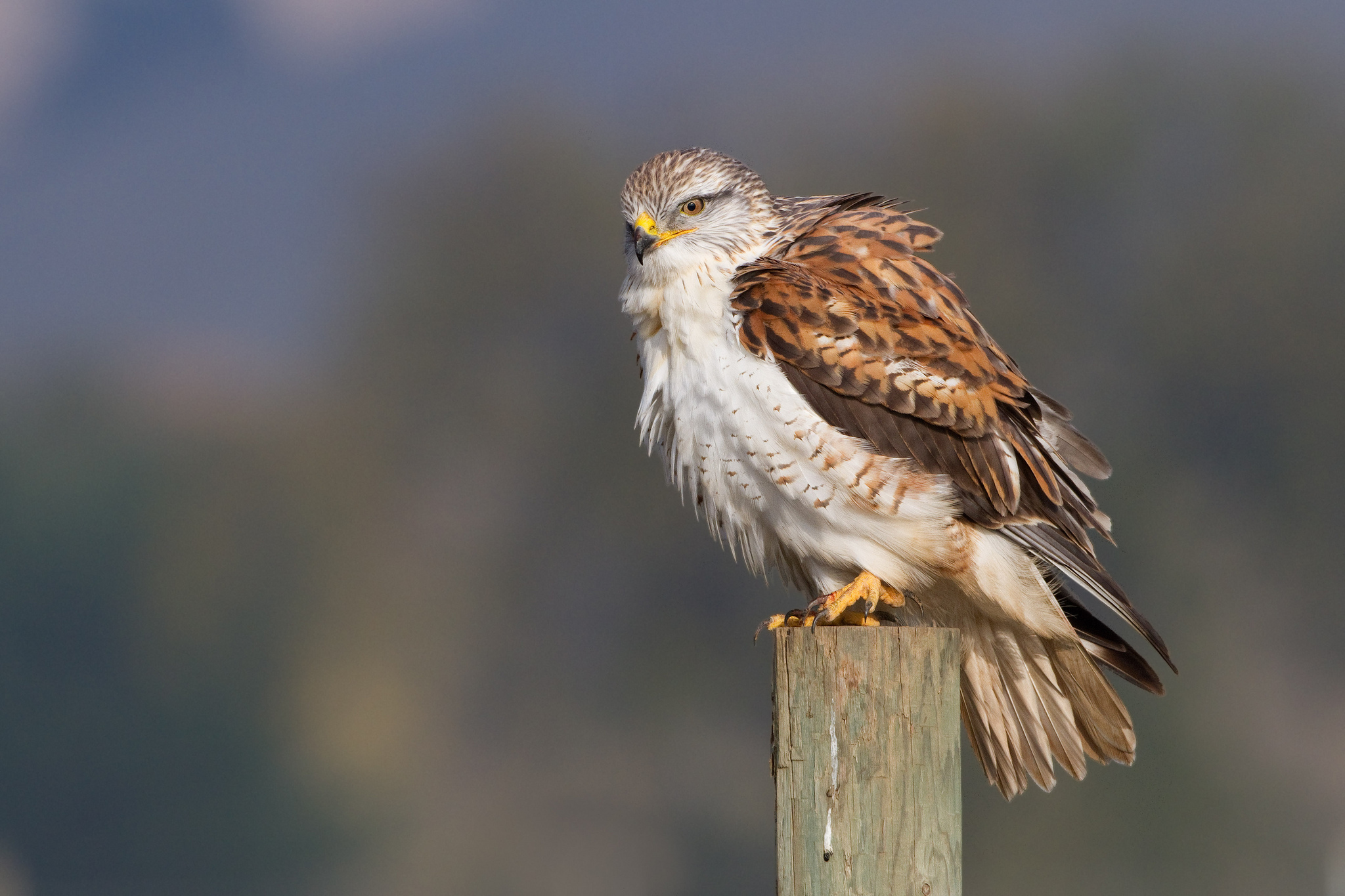 Hawk hd wallpaper background image 2048x1365 id - Hawk iphone wallpaper ...