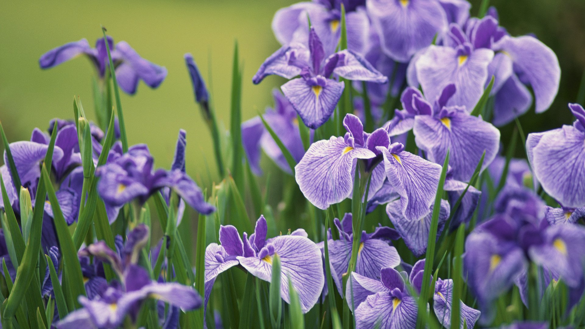 Iris Full HD Wallpaper and Background