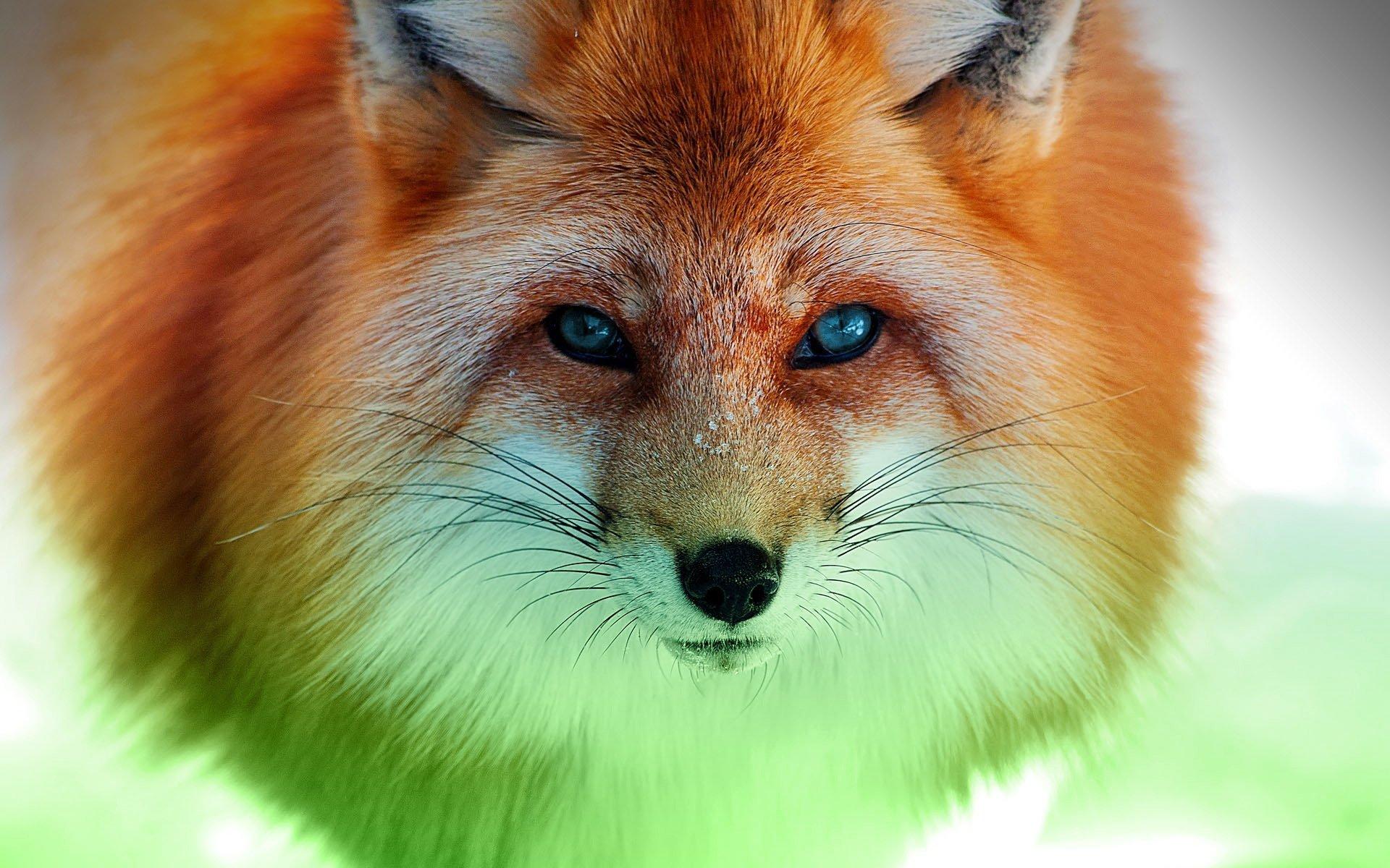 Animal - Fox  Green Nature Animal Wallpaper
