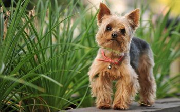 Animal - Silky Terrier Wallpapers and Backgrounds ID : 425342