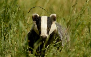 Animal - Badger Wallpapers and Backgrounds ID : 425427