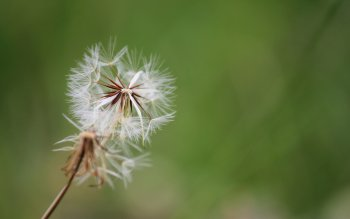 Earth - Dandelion Wallpapers and Backgrounds ID : 425456