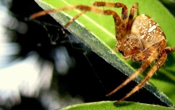 Animal - Spider Wallpapers and Backgrounds ID : 425591