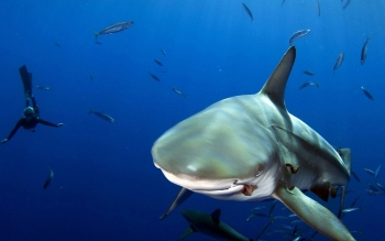 Animal - Shark Wallpapers and Backgrounds ID : 425855