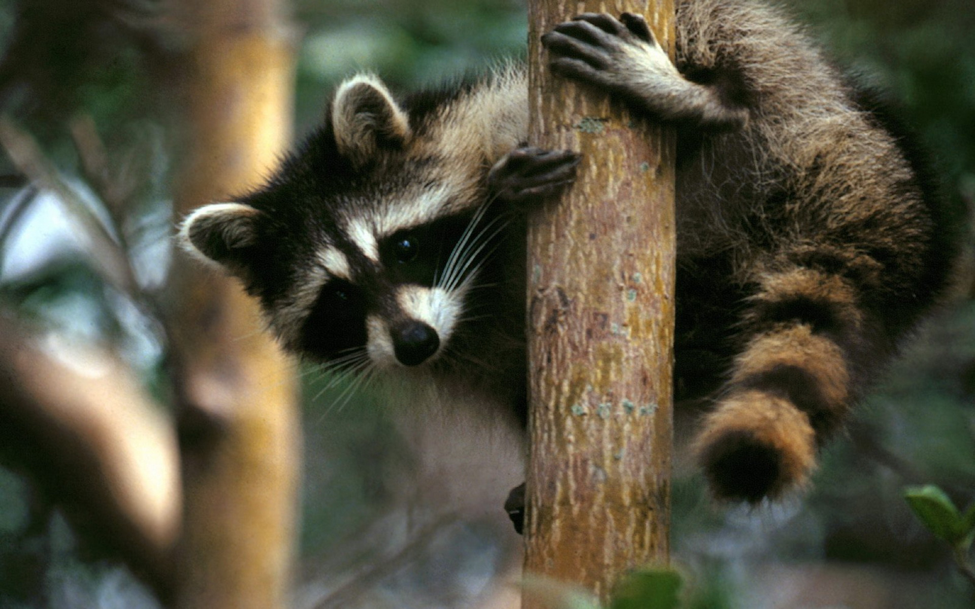 raccoon full hd wallpaper and background | 1920x1200 | id:426489