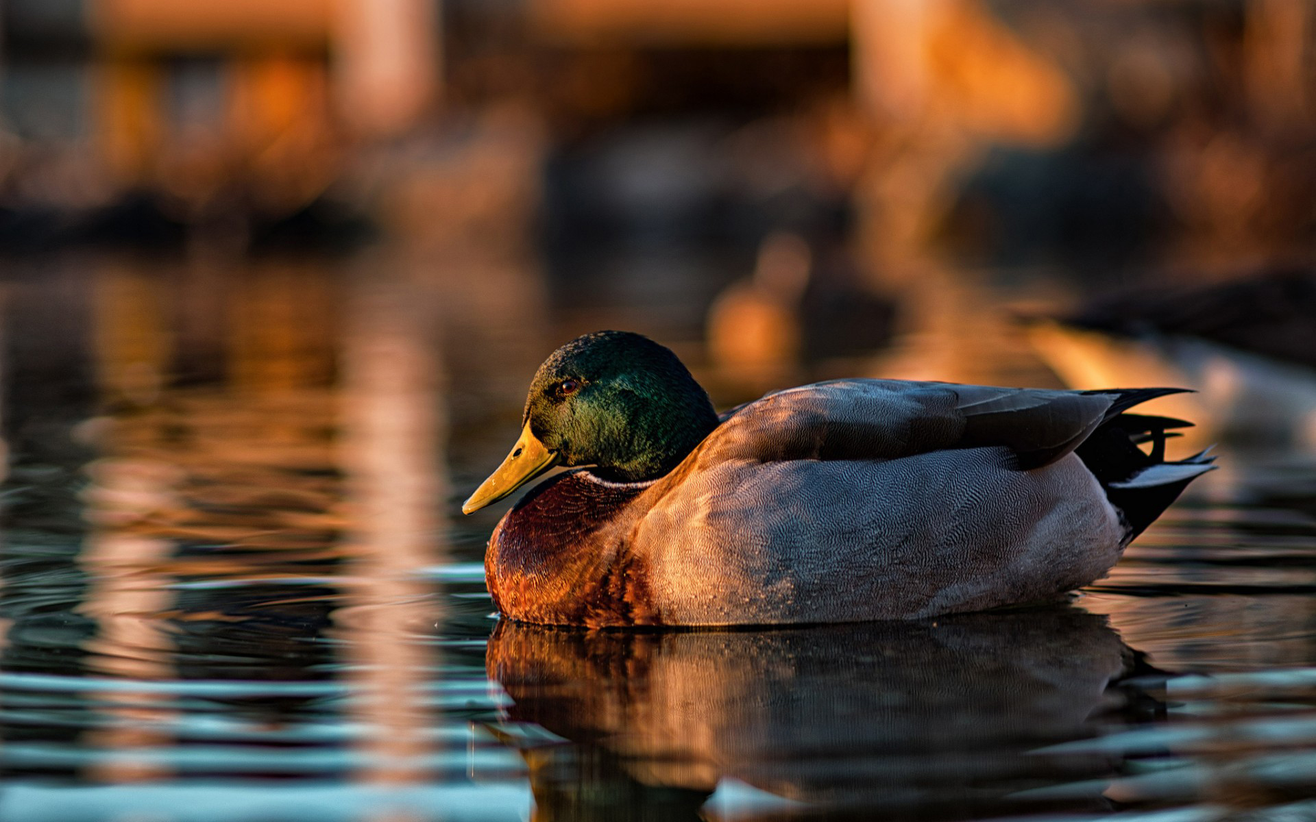 Mallard HD Wallpaper