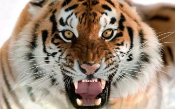 Animalia - Tigre Wallpapers and Backgrounds ID : 427120