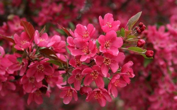 Tierra/Naturaleza Florecer Flores Naturaleza Flor Cherry Blossom Pink Flower Fondo de pantalla HD | Fondo de Escritorio
