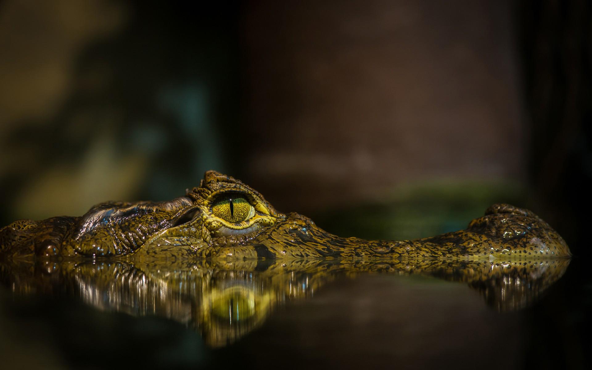 Crocodile HD Wallpaper | Background Image | 1920x1200 | ID ...