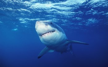 Animal - Shark Wallpapers and Backgrounds ID : 428125