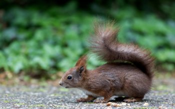 Animal - Squirrel Wallpapers and Backgrounds ID : 428308