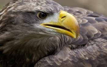 Animal - Eagle Wallpapers and Backgrounds ID : 428512