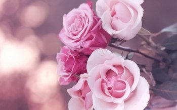 Earth - Rose Wallpapers and Backgrounds ID : 428551