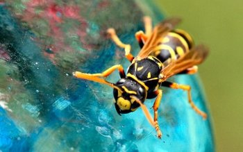 Animal - Wasp Wallpapers and Backgrounds ID : 429215