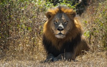 1278 Lion Hd Wallpapers Background Images Wallpaper Abyss Images, Photos, Reviews